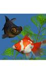 金魚 デスクトップ
