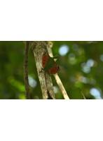ワイルドライフ 密林に飛行生物の謎を追う ボルネオ